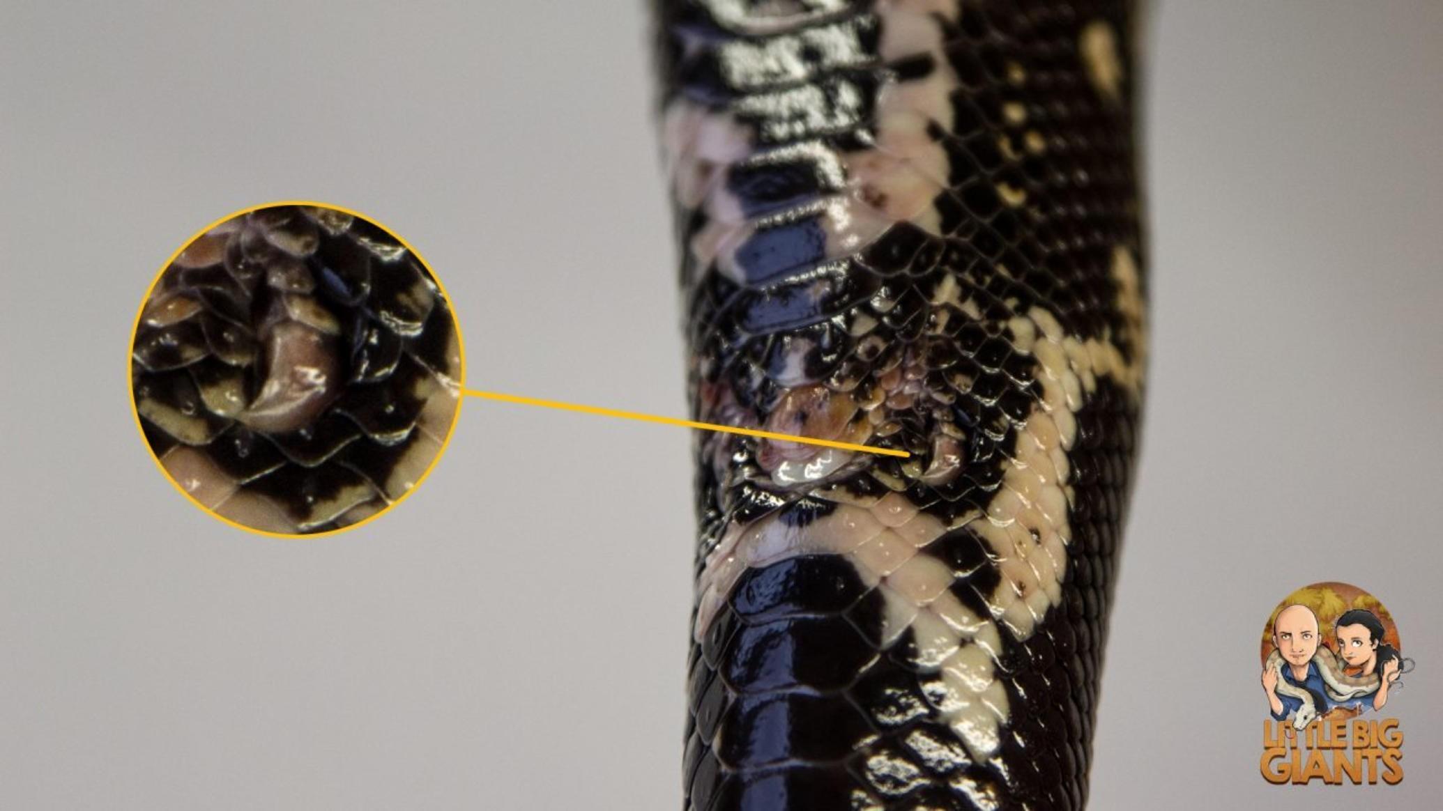 Geschlechtsbestimmung Boa constrictor Aftersporen
