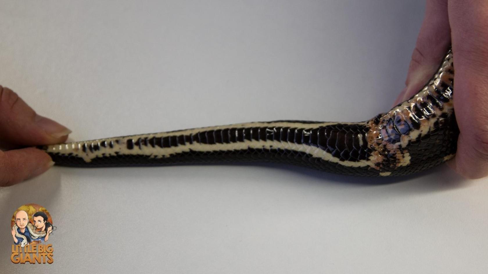 Geschlechtsbestimmung Boa constrictor
