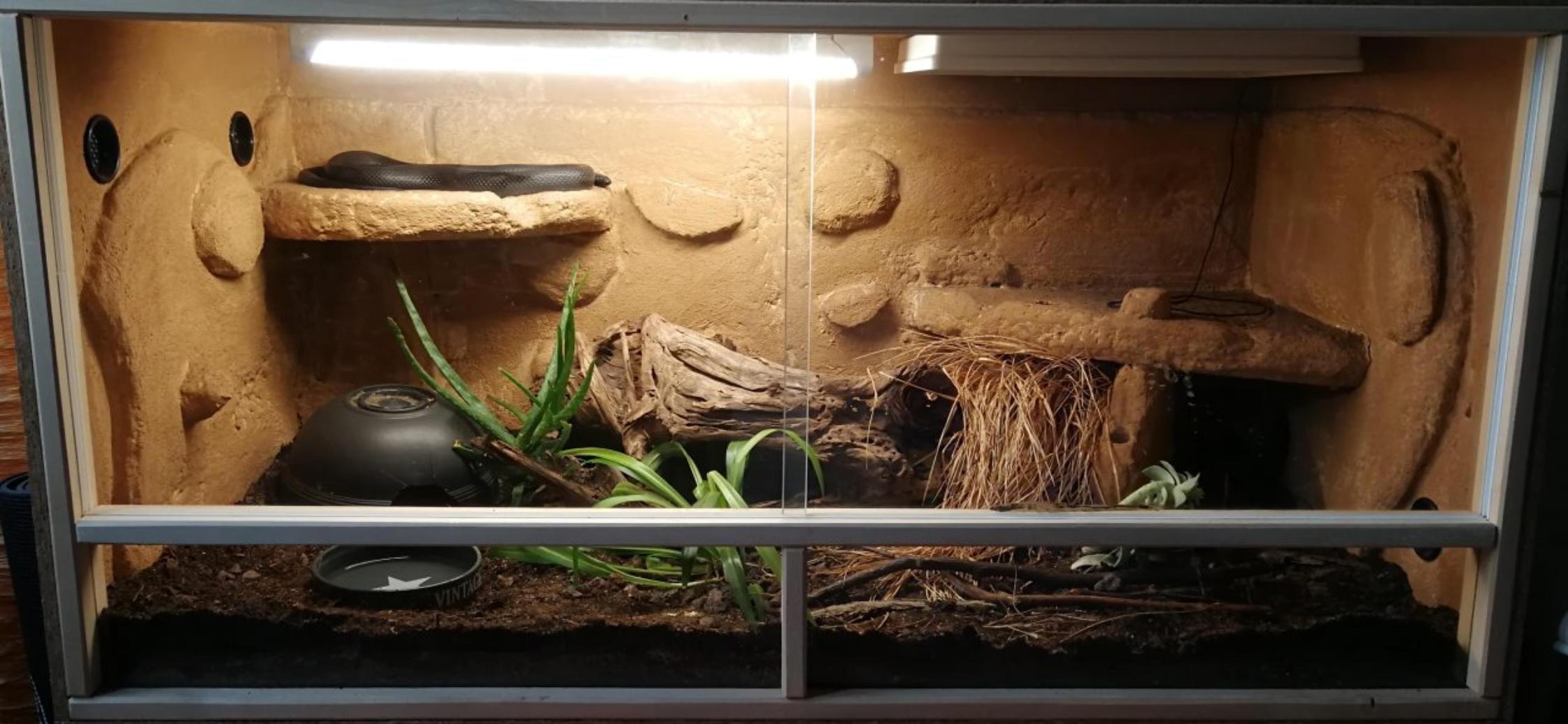 Terrarium 1.0 Lampropeltis getula nigrita