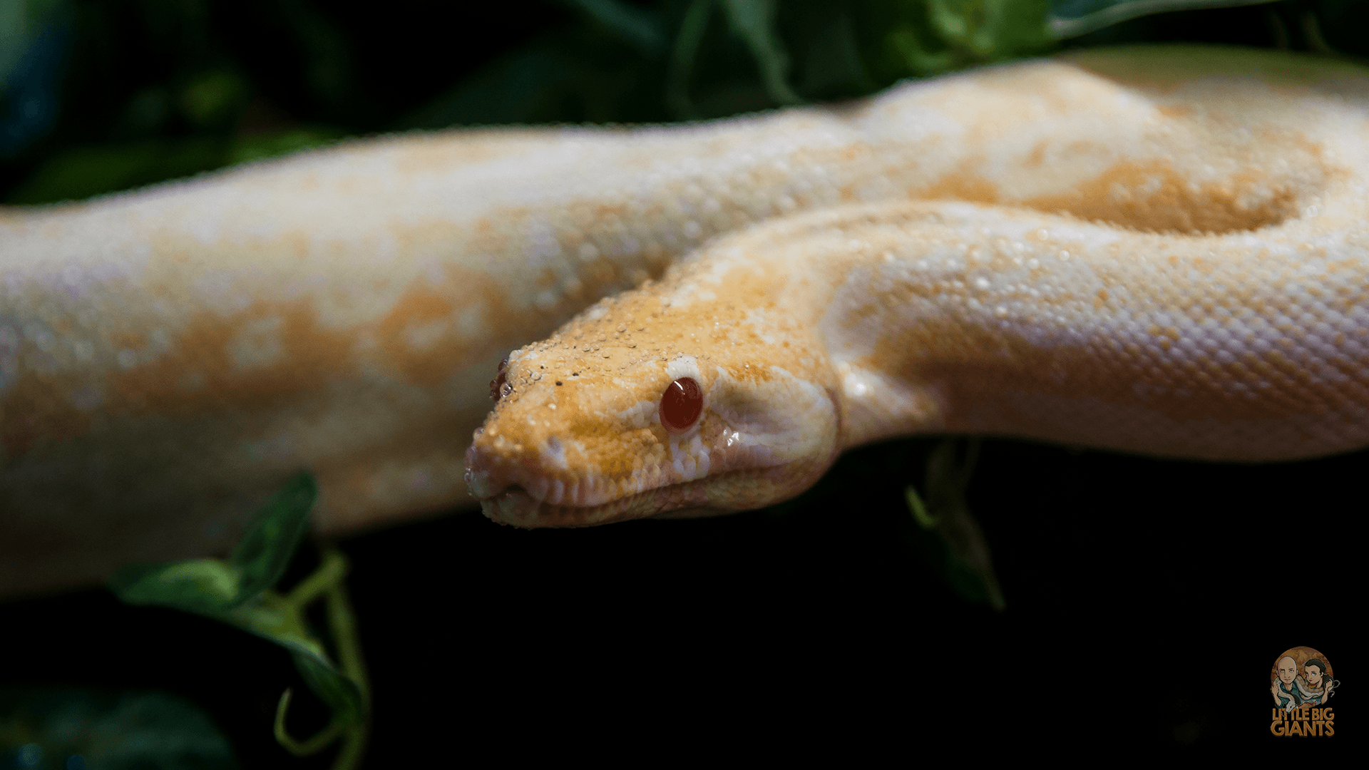 Albino BlackPanther