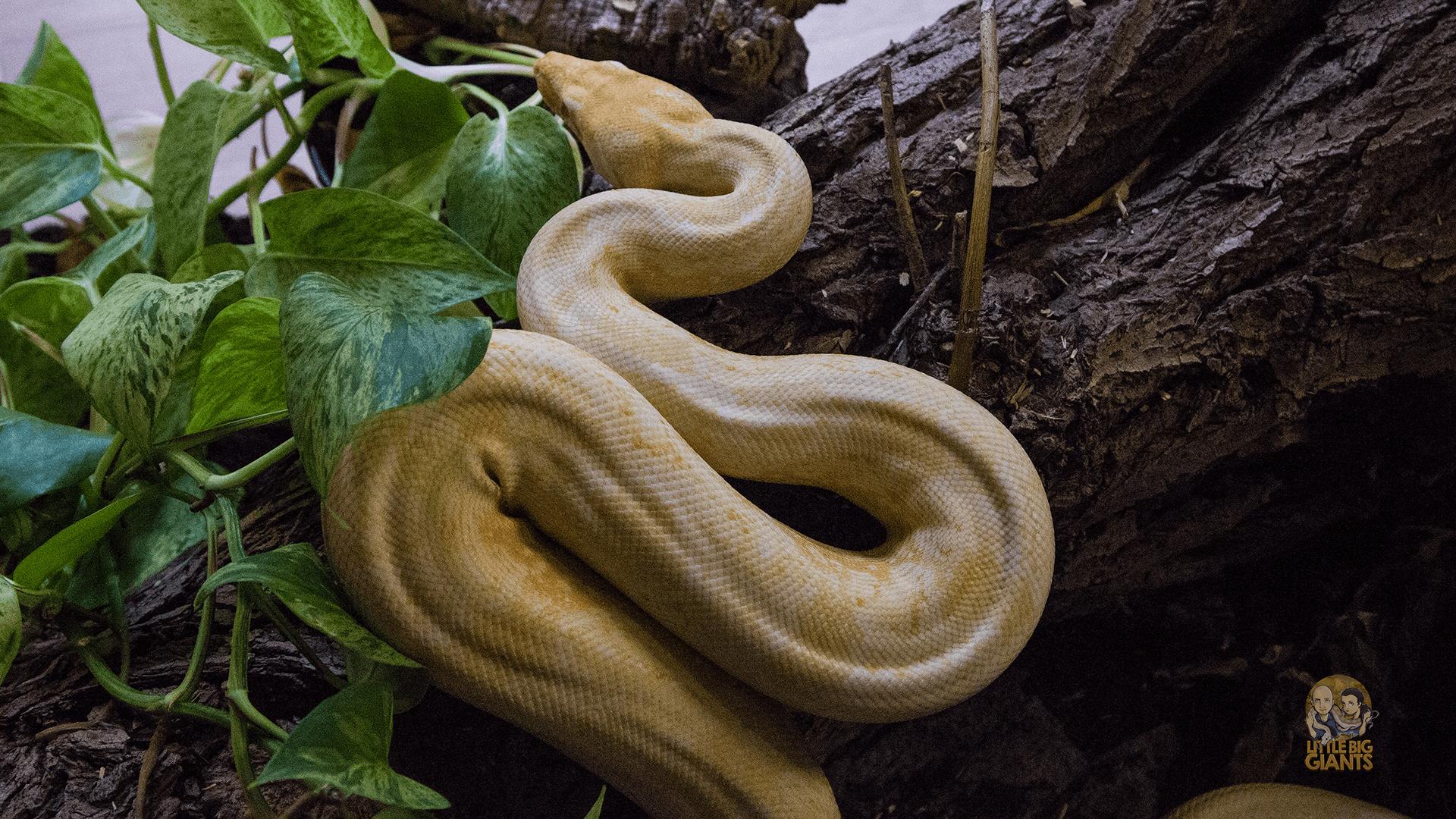Albino BlackPanther