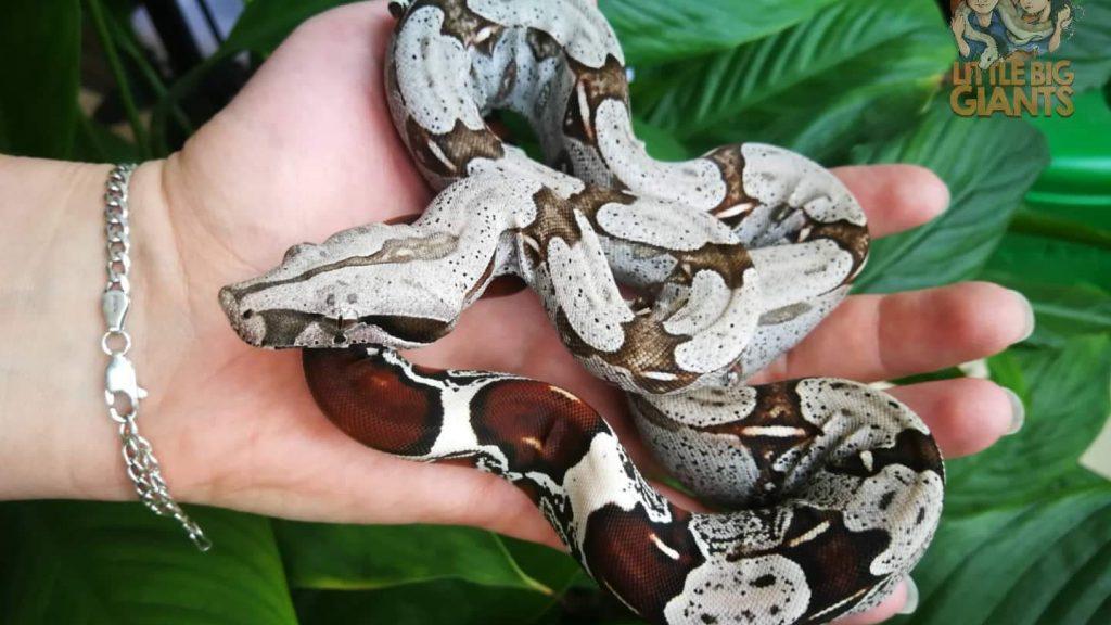 Boa constrictor Surinam