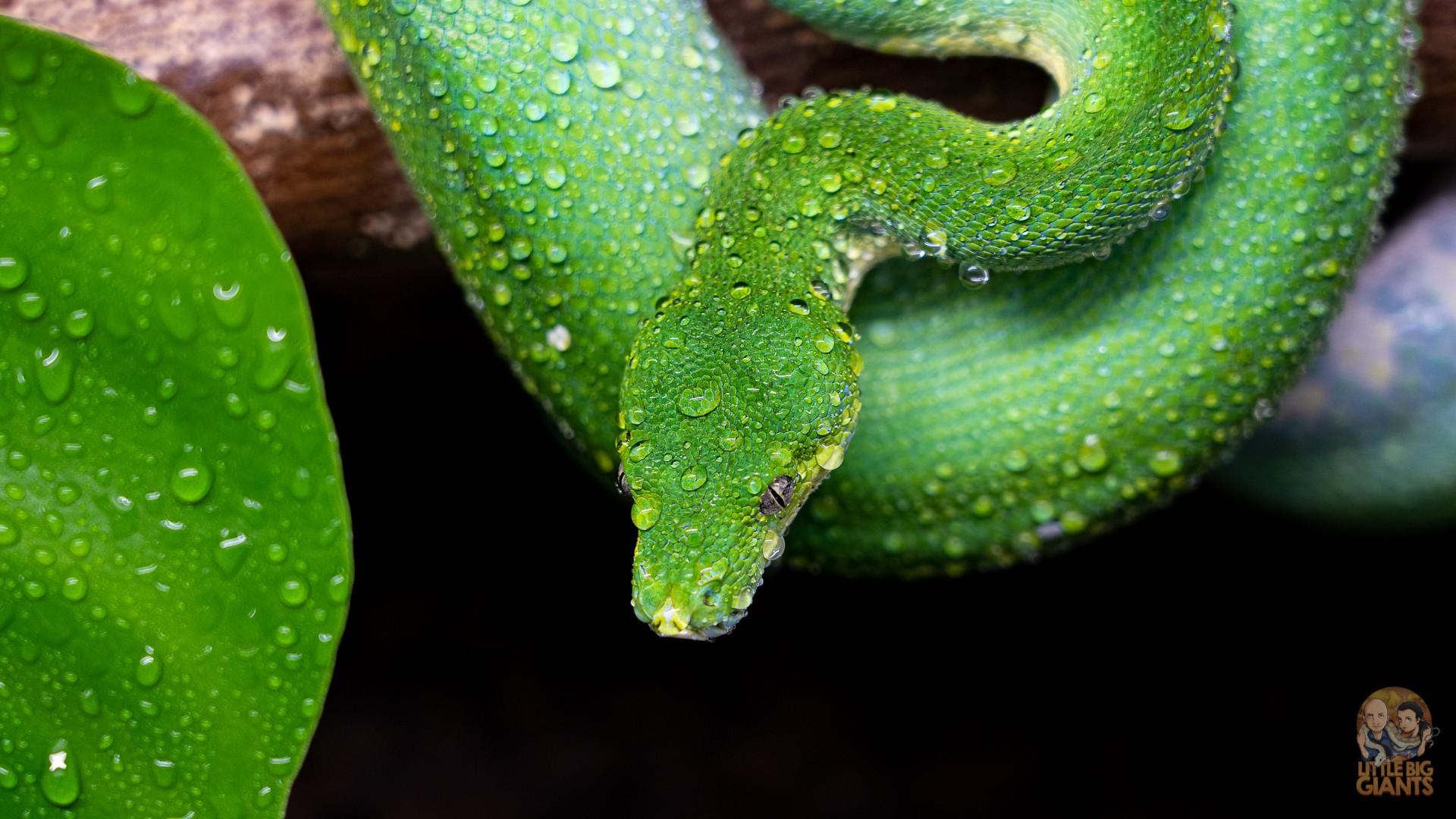 0.1 Morelia viridis Aru