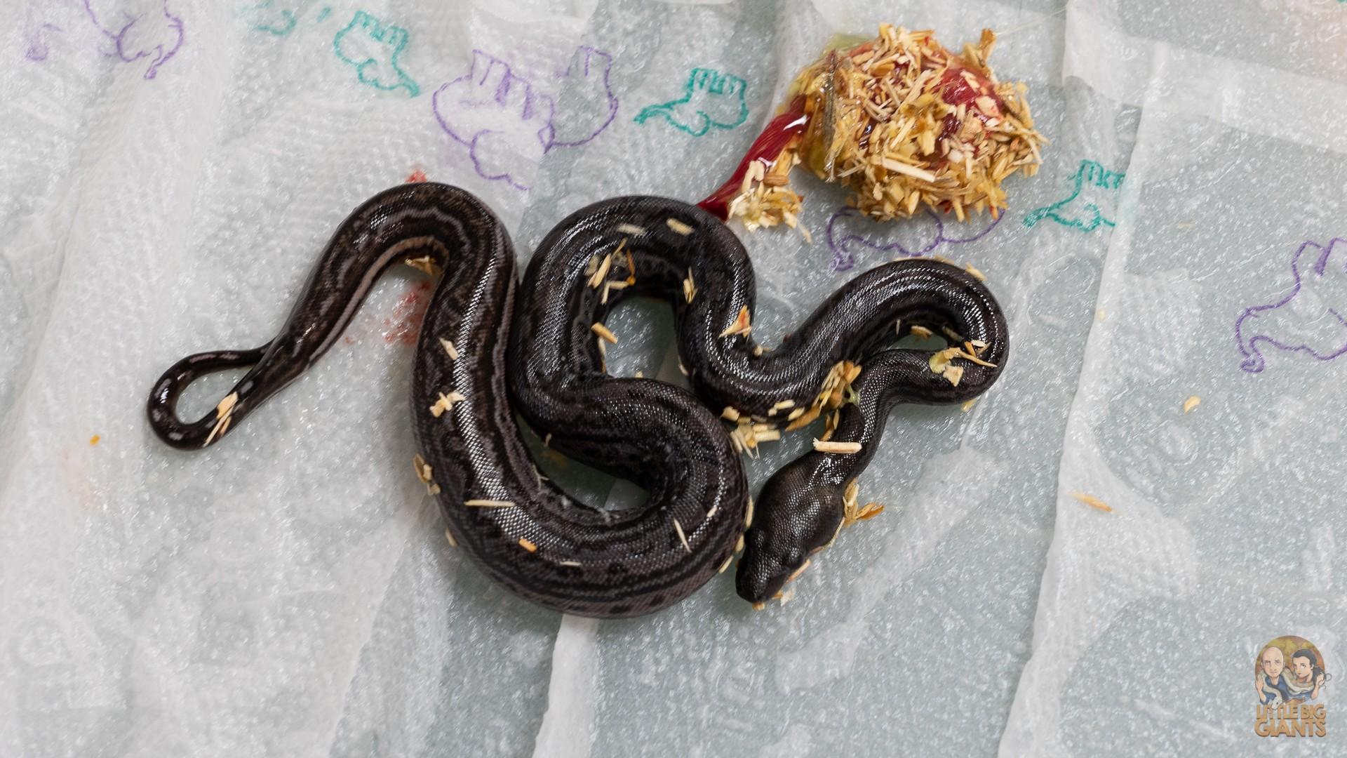 Black Inca Wurf