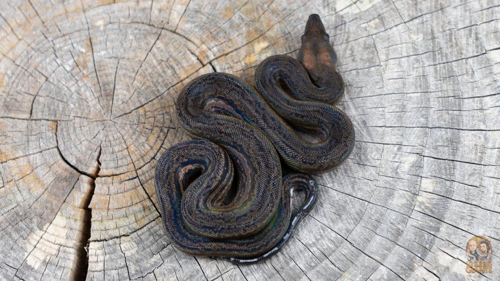 Black Inca