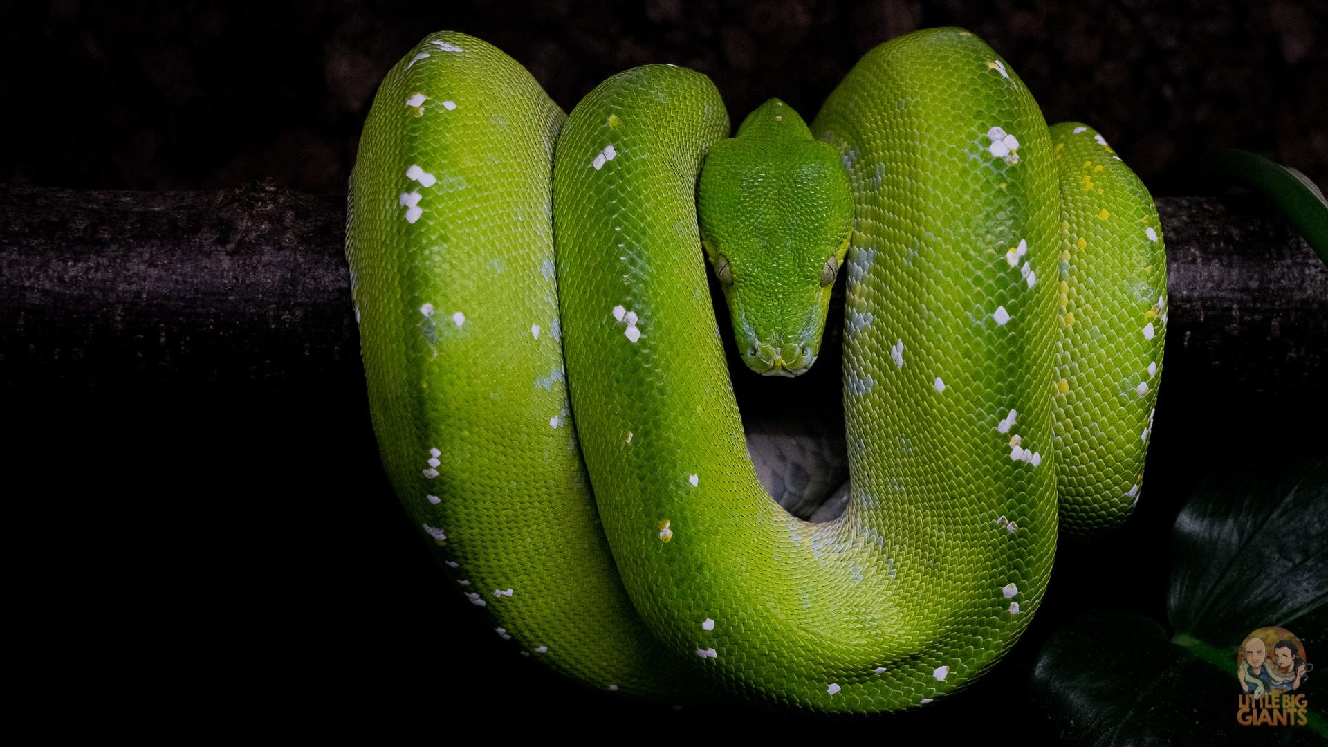 1.0 Morelia viridis