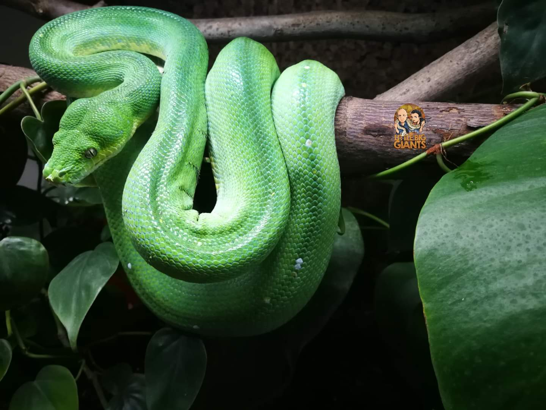 0.1 Morelia viridis