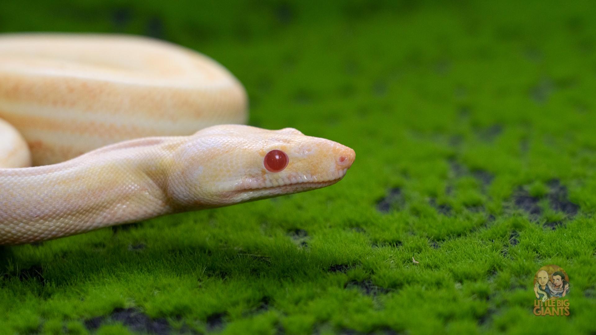 Albino BlackberryPanther