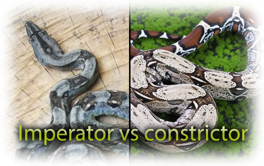 constrictor vs imperator