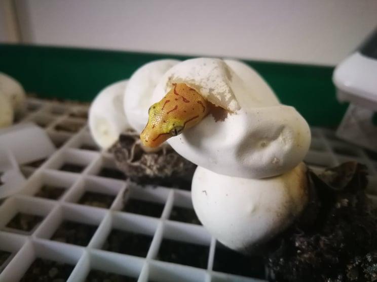 Morelia viridis Aru beim Schlupf